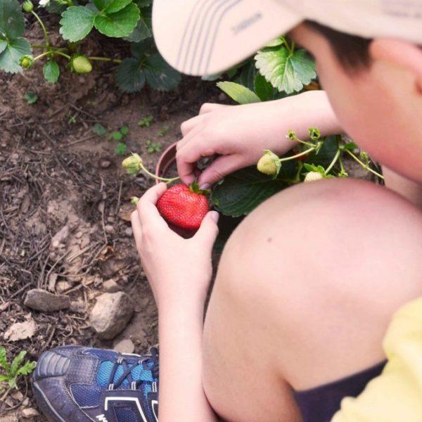 explorar-menino-apanha-morango